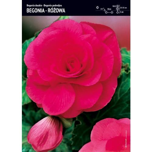 Begonia Podwójna Różowa 1szt.