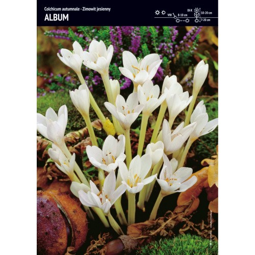 Colchicum Autumnale Zimowit Jesienny Album Cebulka 1szt