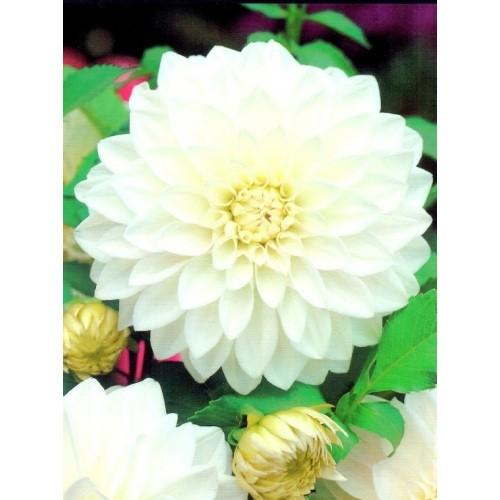 Dalia Dekoracyjna Biała White 1szt.