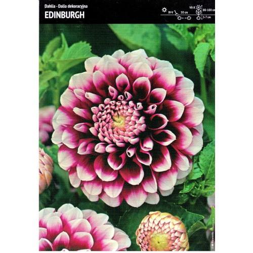 Dalia Dekoracyjna Edinburgh 1szt.