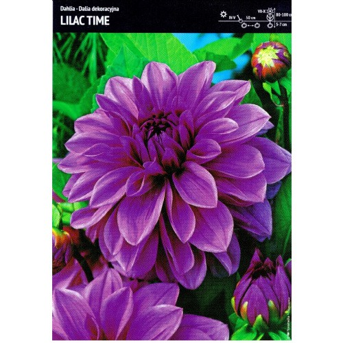 Dalia Dekoracyjna Lilac Time 1szt.