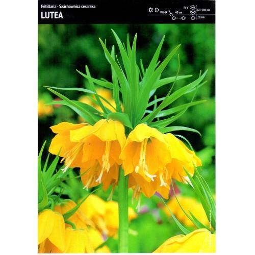 Fritillaria Szachownica Cesarska Lutea Cebulka 1szt