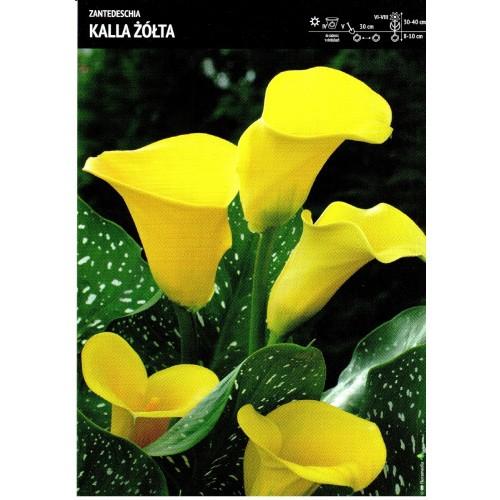 Zantedeschia - Kalla Żółta Cebulka 1szt.