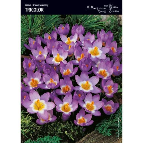 Krokus Tricolor Cebulka 10szt