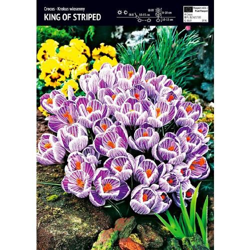 Krokus Wielokwiatowy King Of Striped Cebulka 10szt