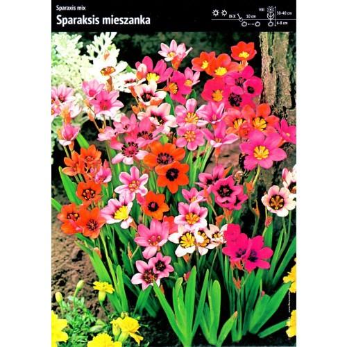 Sparaxis Sparaksis MIX Kolorowe Kwiaty Cebulka 20szt