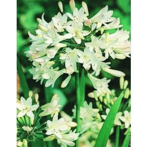 Agapanthus - Agapant Biały 1szt