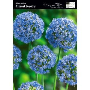 Allium Caeruleum Czosnek Błękitny Cebulka 10szt