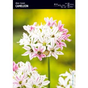 Allium - Czosnek Cameleon 5szt