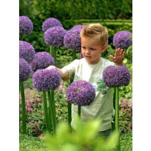 Allium Czosnek Ambassador Cebulka 1szt