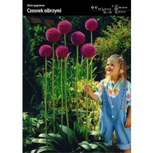 Allium Giganteum Czosnek Olbrzymi Cebulka 1szt