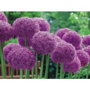 Allium Czosnek Globemaster Cebulka 1szt