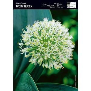 Allium - Czosnek Ivory Queen 3szt