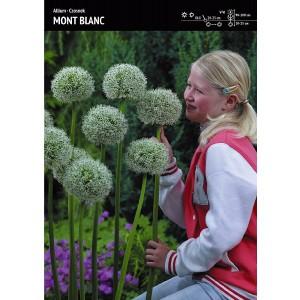Allium - Czosnek Mont Blanc 1szt