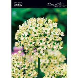 Allium - Czosnek Nigrum 3szt