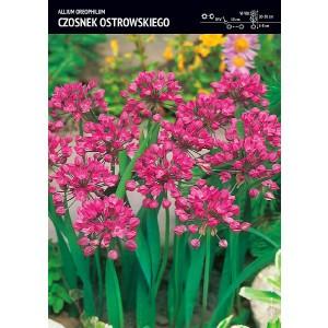 Allium Oreophilum - Czosnek Ostrowskiego 10szt