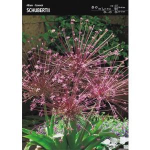 Allium Schubertii - Czosnek Szuberta 1szt