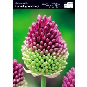 Allium Shearocephalon Czosnek Główkowaty Cebulka 10szt
