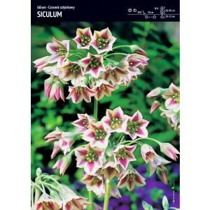 Allium Siculum Czosnek Sztyletowy Cebulka 3szt