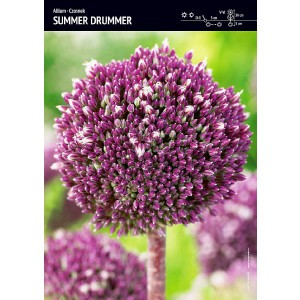 Allium - Czosnek Summer Drummer 1szt
