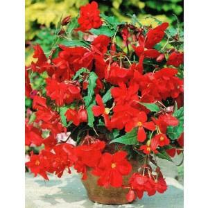 Begonia Zwisająca Pendula Czerwona 1szt.