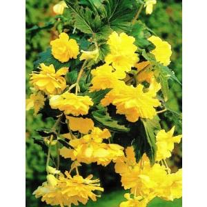 Begonia Zwisająca Pendula Żółta 1szt.