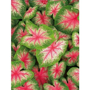 Caladium - Kaladium Pink Beauty Cebulka 1szt.