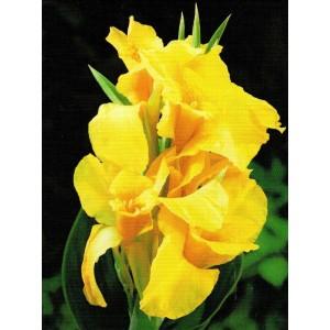 Canna - Kanna Yellow Humbert 1szt.