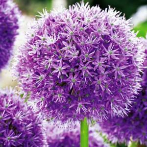 Allium Czosnek His Excellency 1szt