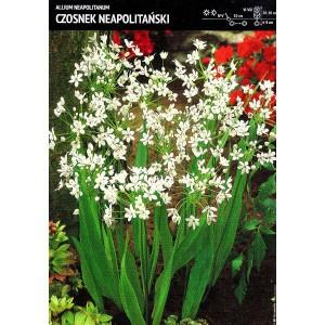 Allium Neapolitanum - Czosnek Neapolitański 10szt