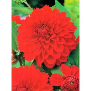 Dalia Dekoracyjna Czerwona Red 1szt.