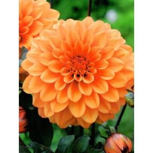 Dalia Dekoracyjna Pomarańczowa Orange 1szt.