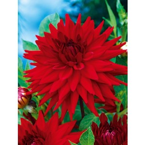 Dalia Kaktusowa Czerwona 1szt.