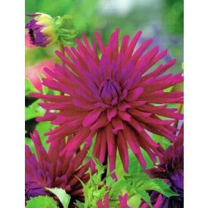 Dalia Kaktusowa Purple Gem 1szt.