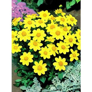 Dalia Top Mix Yellow 1szt.
