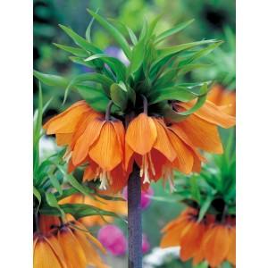 Fritillaria Szachownica Cesarska Aurora Cebulka 1szt