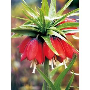 Fritillaria Szachownica Cesarska Rubra Maxima Cebulka 1szt
