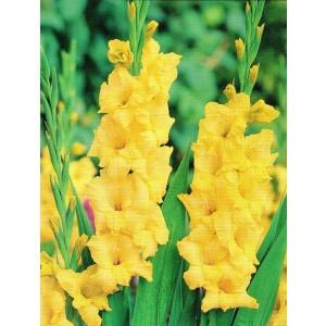 Gladiolus - Mieczyk Żółty 5szt.