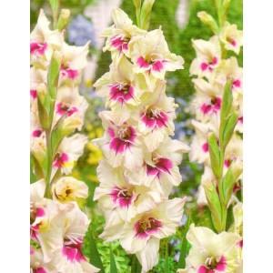 Gladiolus - Mieczyk Wielokwiatowy Amber Mistique 5szt.