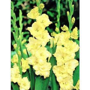 Gladiolus - Mieczyk Karbowany Banana Ruffle 5szt.