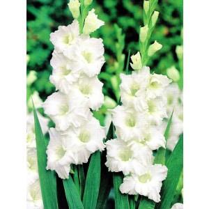 Gladiolus - Mieczyk Biały 5szt.