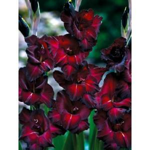 Gladiolus - Mieczyk Wielokwiatowy Black Star 5szt.