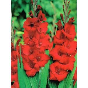 Gladiolus - Mieczyk Czerwony 5szt.