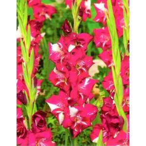 Gladiolus - Mieczyk Wielokwiatowy Dared 5szt.
