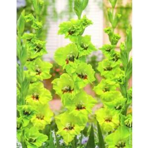 Gladiolus - Mieczyk Wielokwiatowy Fergie 5szt.