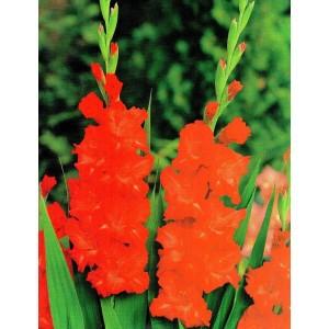 Gladiolus - Mieczyk Karbowany Fire Ruffle 5szt.