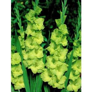 Gladiolus - Mieczyk Wielokwiatowy Green Star 5szt.