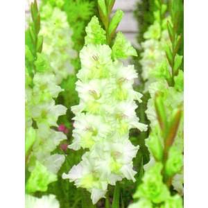 Gladiolus - Mieczyk Gydan 5szt.