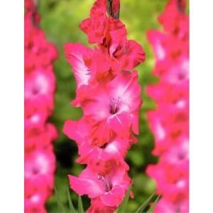 Gladiolus - Mieczyk Wielokwiatowy Karaoke 5szt.