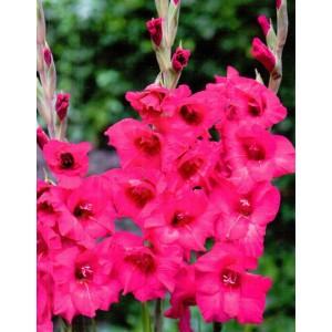 Gladiolus - Mieczyk Wielokwiatowy Kazimir 5szt.